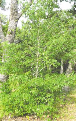 """An Escarpment Black Cherry that came up several years ago, presumably because a bird ate a cherry from a tree at some unknown distance away and came and sat in the Post Oak and ""planted"" the seed here."""